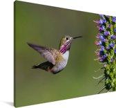 Een calliope kolibrie tijdens de vlucht Canvas 60x40 cm - Foto print op Canvas schilderij (Wanddecoratie woonkamer / slaapkamer)