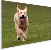 Flapperende oren van een hardlopende Golden Retriever Plexiglas 90x60 cm - Foto print op Glas (Plexiglas wanddecoratie)
