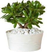 Crassula ovata - jadeplant - Geldboom Inclusief Sierpot met steentjes.
