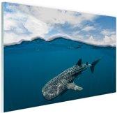 Walvishaai aan de oppervlakte Glas 120x80 cm - Foto print op Glas (Plexiglas wanddecoratie)