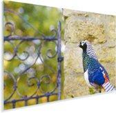Kleurrijke ladyamherstfazant voor een muurtje Plexiglas 30x20 cm - klein - Foto print op Glas (Plexiglas wanddecoratie)