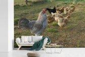 Fotobehang vinyl - Haan tussen de kippen in het gras breedte 600 cm x hoogte 400 cm - Foto print op behang (in 7 formaten beschikbaar)
