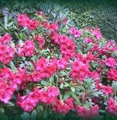 Rhododendron 'Elizabeth' - Rhododendron 20-30 cm in pot