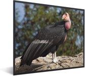 Foto in lijst - Een Californische condor op een rots in de zon fotolijst zwart 50x40 cm - Poster in lijst (Wanddecoratie woonkamer / slaapkamer)