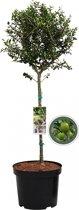 Olijfboom op stam - Olea Europea - 85 cm