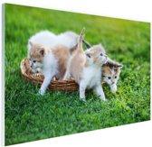 Kittens in de tuin Glas 60x40 cm - Foto print op Glas (Plexiglas wanddecoratie)
