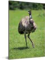 Een kleine emoe wandelt door het gras Aluminium 60x90 cm - Foto print op Aluminium (metaal wanddecoratie)