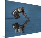 Een brilduiker vliegt laag over het water Canvas 60x40 cm - Foto print op Canvas schilderij (Wanddecoratie woonkamer / slaapkamer)
