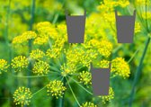 Kruidenpaneel Yellow Dill Flower