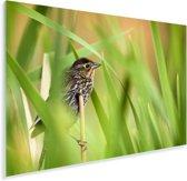 Schitterende graszanger tussen de grassprieten door Plexiglas 180x120 cm - Foto print op Glas (Plexiglas wanddecoratie) XXL / Groot formaat!