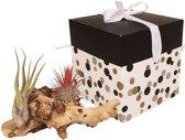 Choice of Green - Tillandsia Luchtplant op hout 3 stuks in giftbox + verzorgingsspray - Hoogte ↕ 17 cm