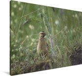 Boomkwartel zit in het gras Canvas 90x60 cm - Foto print op Canvas schilderij (Wanddecoratie woonkamer / slaapkamer)