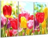 Glasschilderij Tulpen | Rood, Geel, Paars | 120x80cm 3Luik | Foto print op Glas |  F006001