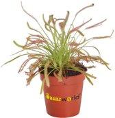 Swampworld Mini Drosera P6 - Vleesetende Plant - Zonnedauw + Gekleurd Potje