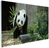 Grote panda Glas 90x60 cm - Foto print op Glas (Plexiglas wanddecoratie)