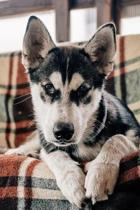 Husky At Home Journal: 150 Page Lined Notebook/Diary