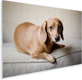 Een bruine Teckel kijkt in de camera Plexiglas 90x60 cm - Foto print op Glas (Plexiglas wanddecoratie)