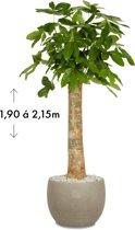 Wout (Pachira Aquatica) Grijs/Wit   ↕ +/- 2,05m   Grote kamerplant   Luchtzuiverend   Gemakkelijk