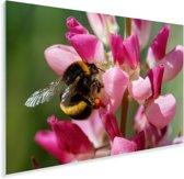 Een Hommel bevindt zich op een felroze bloem Plexiglas 90x60 cm - Foto print op Glas (Plexiglas wanddecoratie)