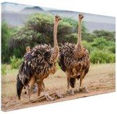 Vrouwelijke struisvogels Canvas 80x60 cm - Foto print op Canvas schilderij (Wanddecoratie woonkamer / slaapkamer) / Dieren Canvas Schilderijen
