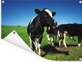 Friese koeien in het weiland met een blauwe lucht Tuinposter 80x60 cm - Tuindoek / Buitencanvas / Schilderijen voor buiten (tuin decoratie)