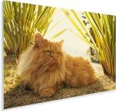 Perzische kat tussen de planten Plexiglas 30x20 cm - klein - Foto print op Glas (Plexiglas wanddecoratie)