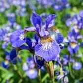 Waterworld® Iris Siberica Blue - Baardloze Iris - 4 Stuks + Oppot Set