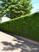 Venijnboom Taxus baccata 120-140 cm, 15x haagplant, incl. bezorging