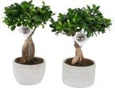 Bonsai Ficus Ginseng (streepppot), 40 CM hoog