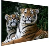 Twee Siberische tijgers Aluminium 120x80 cm - Foto print op Aluminium (metaal wanddecoratie)