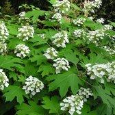 Hydrangea Quercifolia - Eikenblad hortensia 30-40 cm pot