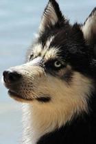 Regal Husky Dog