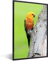 Foto in lijst - Een oranje Zonparkiet zit op een boom fotolijst zwart 40x60 cm - Poster in lijst (Wanddecoratie woonkamer / slaapkamer)