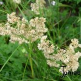 Set 12 stuks Luzula nivea - Veldbies