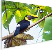Een toekan zit in de zon in een boom Plexiglas 90x60 cm - Foto print op Glas (Plexiglas wanddecoratie)