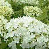 3 x Hydrangea arborescens 'Annabelle' - Hortensia 30-50 cm