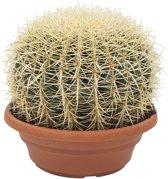 Hee Dat Is Het   Cactus Echinocactus - schoonmoedersstoel Grusonii Hoogte 30cm