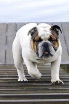 Bulldog on the Jetty Journal