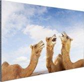 Kamelen in India Aluminium 90x60 cm - Foto print op Aluminium (metaal wanddecoratie)