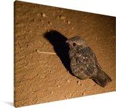 Nachtzwaluw in de woestijn in Oeganda Canvas 140x90 cm - Foto print op Canvas schilderij (Wanddecoratie woonkamer / slaapkamer)