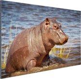 Baby nijlpaard Aluminium 90x60 cm - Foto print op Aluminium (metaal wanddecoratie)