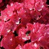 Rhododendron 'Nova Zembla' - Rhododendron 40-50 cm in pot