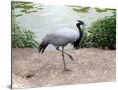 Jufferkraanvogel loopt langs het water Aluminium 160x120 cm - Foto print op Aluminium (metaal wanddecoratie) XXL / Groot formaat!