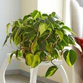 Philodendron Hangplant. Huiskamer of Kantoor Plant.