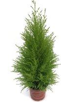 Kerstboompje Cupressus macrocarpa 'Goldcrest Wilma' - 60 cm hoog - potmaat 17 cm - 3 stuks