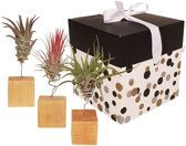 Choice of Green - Tillandsia Luchtplant op houtblok 3 stuks in giftbox + verzorgingsspray - Hoogte ↕ 17 cm