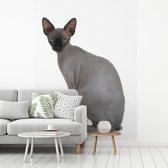 Fotobehang vinyl - Grijze Sphynx kat op een witte achtergrond breedte 195 cm x hoogte 260 cm - Foto print op behang (in 7 formaten beschikbaar)
