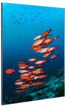 Rode vissen voor blauwe achtergrond Aluminium 20x30 cm - klein - Foto print op Aluminium (metaal wanddecoratie)