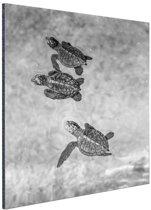 Schildpadden zwart-wit foto Aluminium 80x120 cm - Foto print op Aluminium (metaal wanddecoratie)