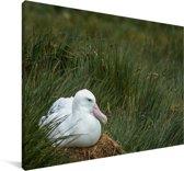 Reuzenalbatros zit op zijn nest Canvas 60x40 cm - Foto print op Canvas schilderij (Wanddecoratie woonkamer / slaapkamer)